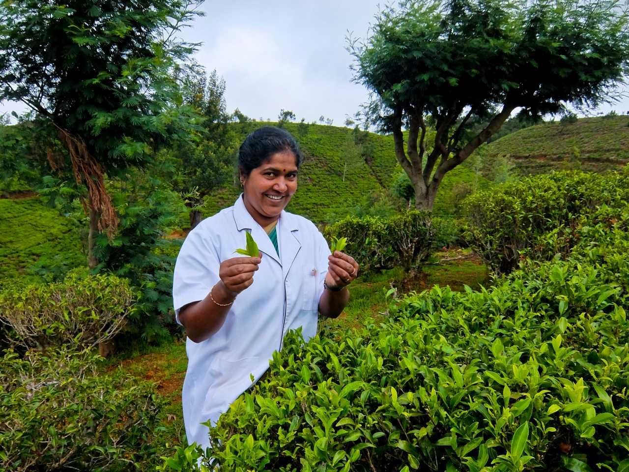 Sri Lanka road trip - Tea Picking