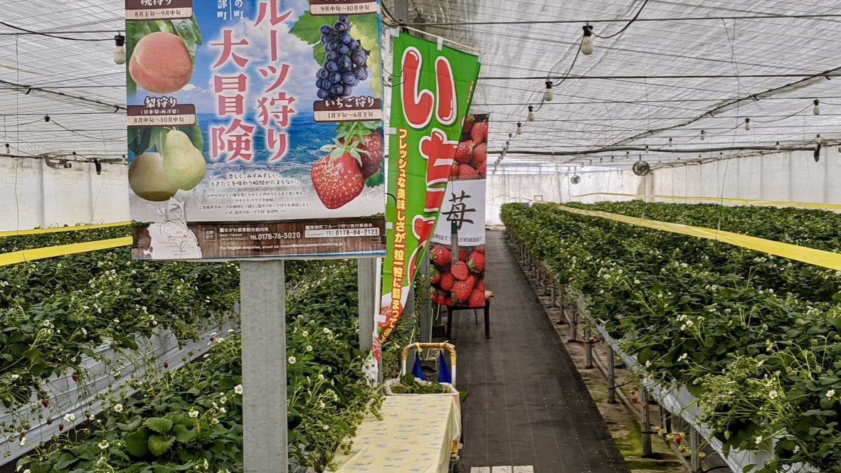 Strawberry picking in winter in Nanbu