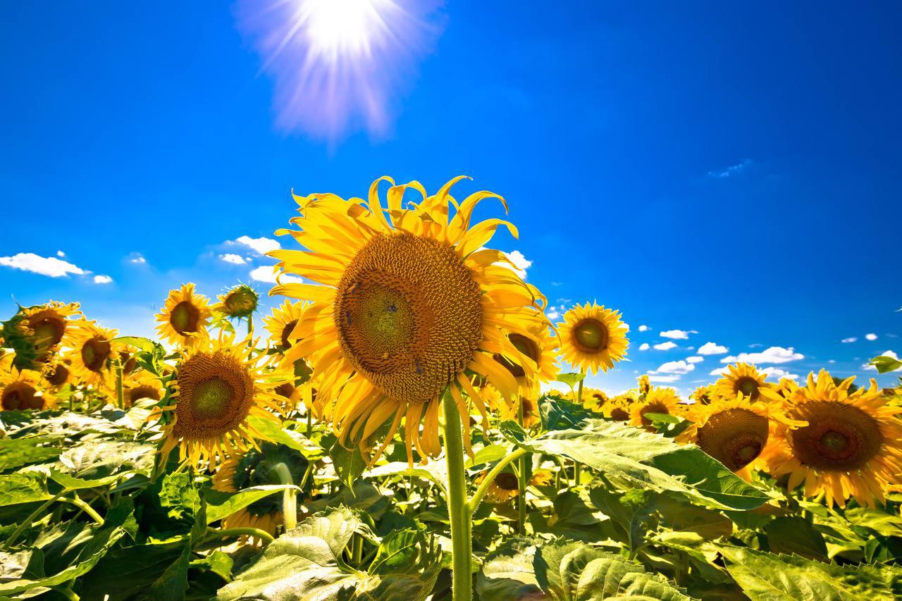 Sunflowers in Slavonia