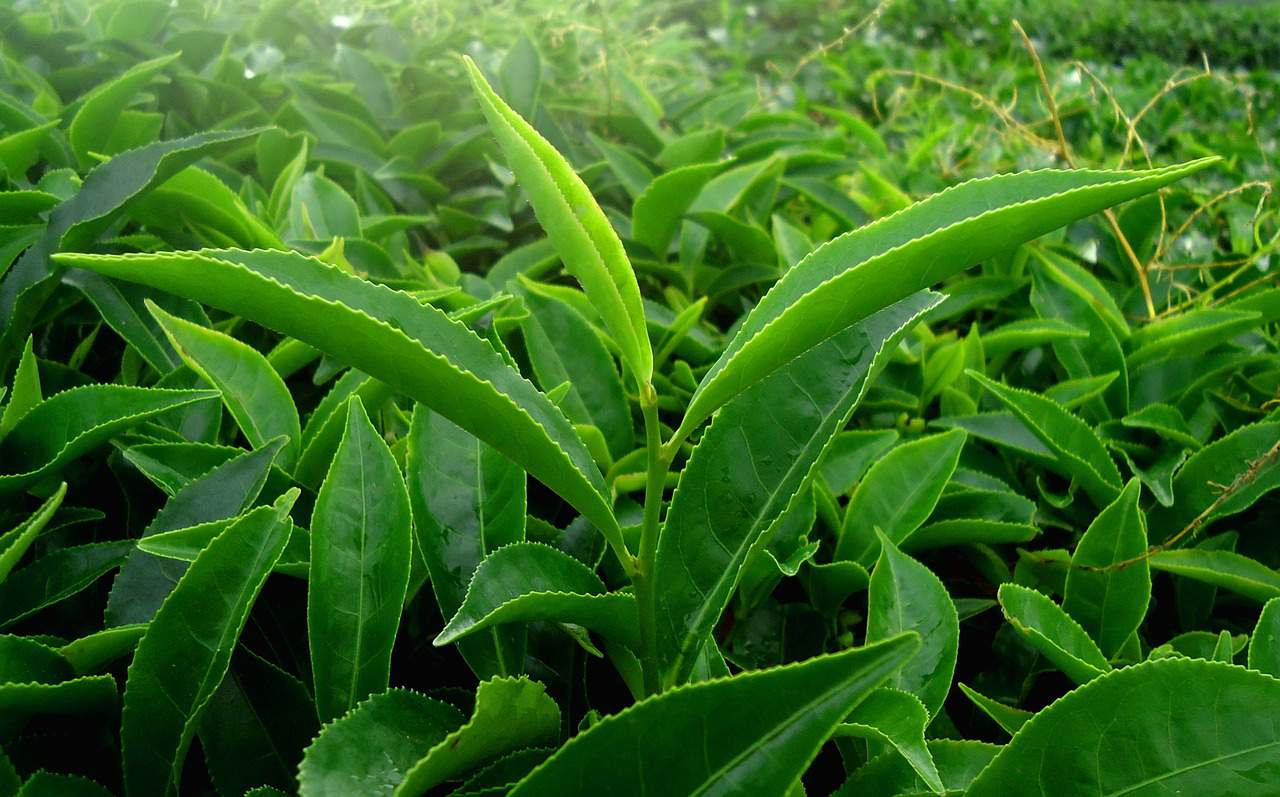Tea leaf Kerala