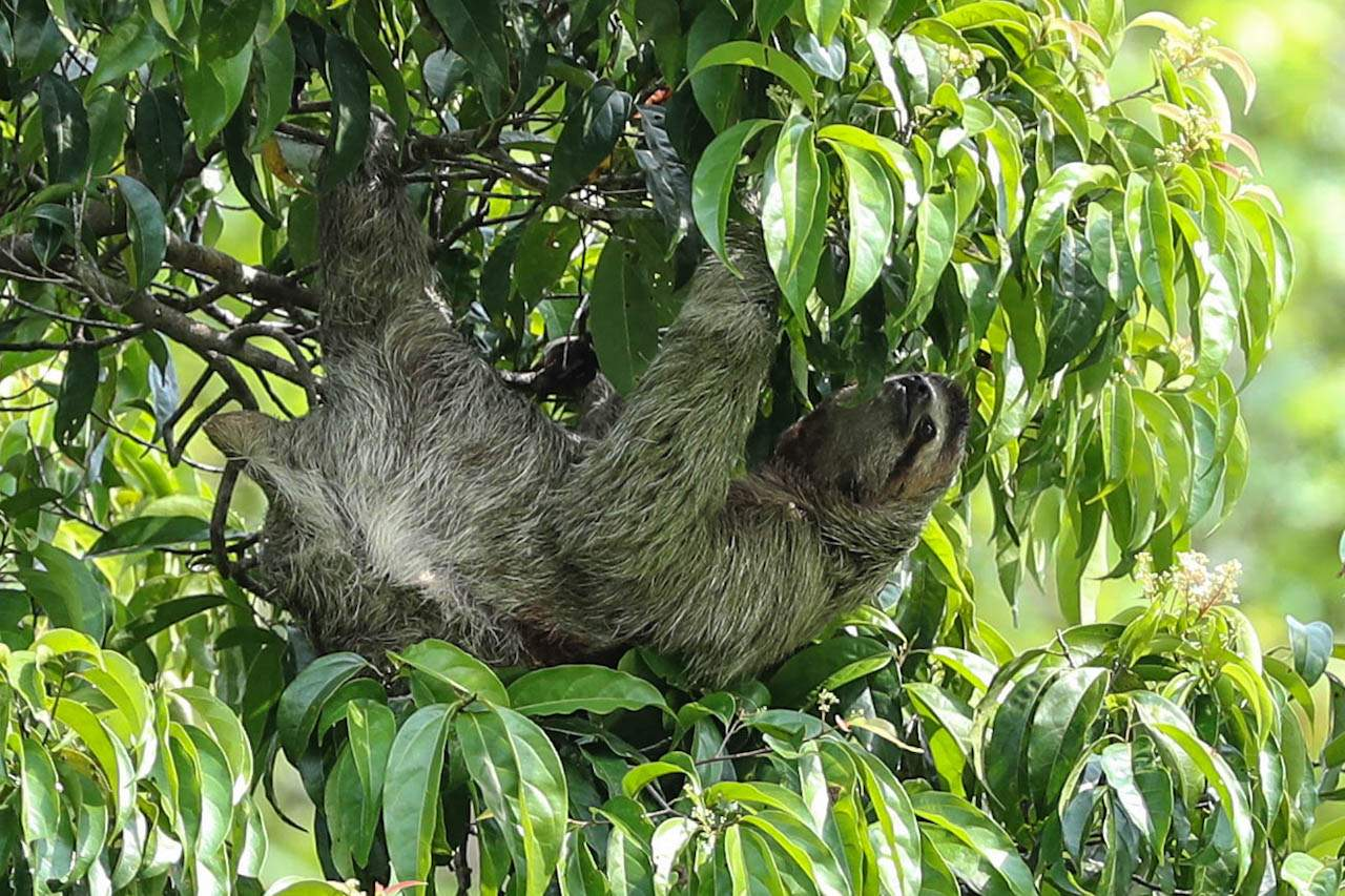 The rarest of creatures: the two-toed sloth