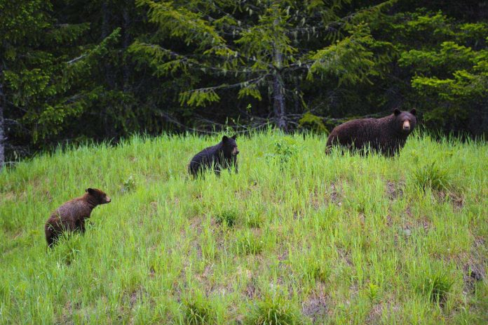 Western Canada British Columbia - Black Bear Mother and Cubs feeding on grass and clover in the rain