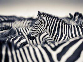 Zebras by Paul Joynson-Hicks