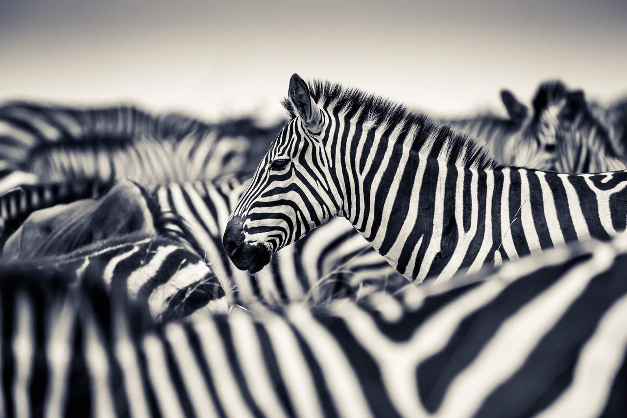 Zebras by Paul Joynson-Hicks
