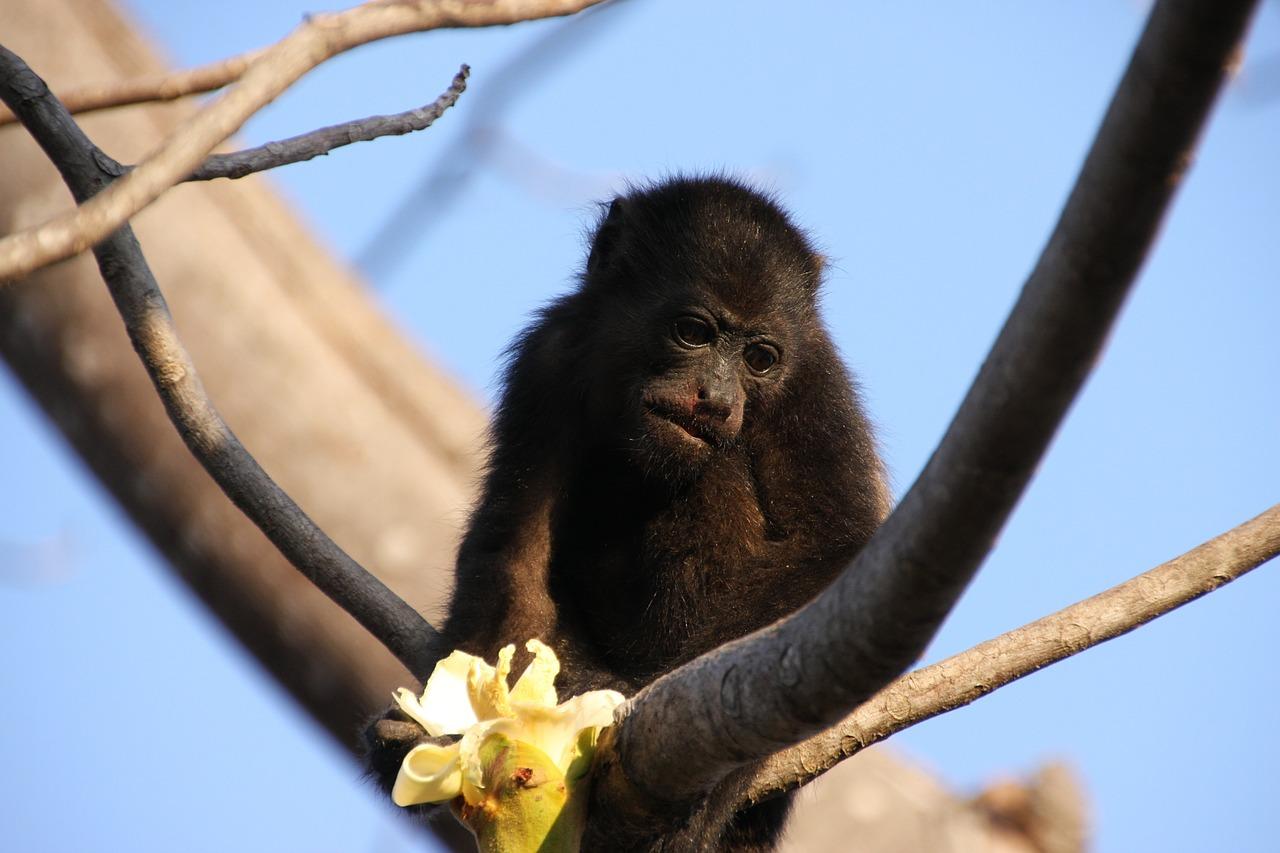 Costa Rica: Monkey