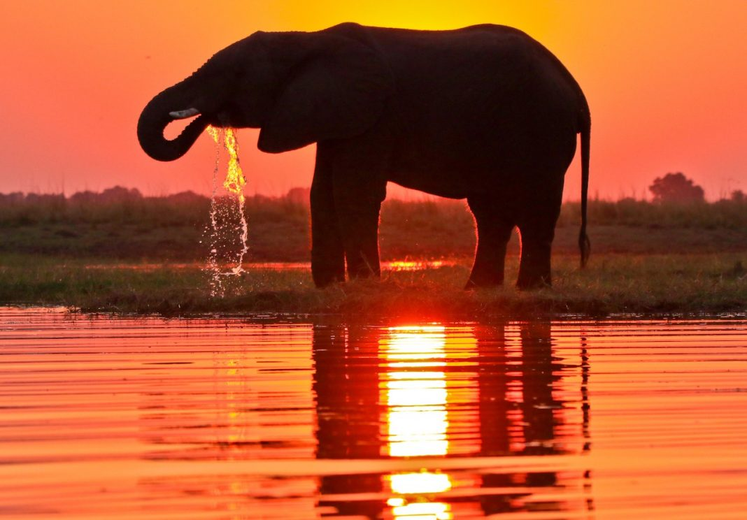 elephant at sunset drinking water - rupert parker
