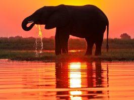 elephant at sunset drinking water - rupert parker