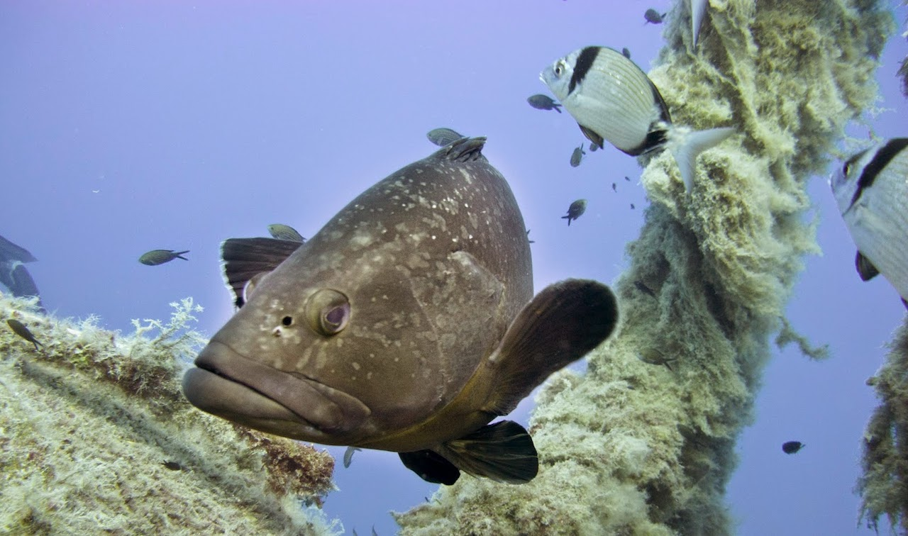 Grouper swimming above the Zenobia
