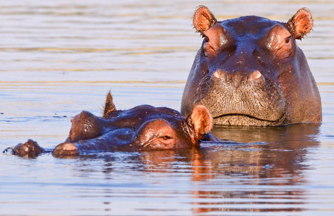 hippos - rupert parker