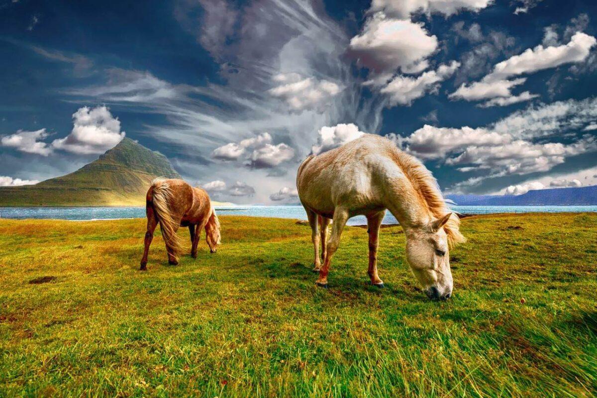 iceland_horse