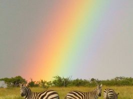 Zebras and rainbow in Loisaba Conservancy, Kenya