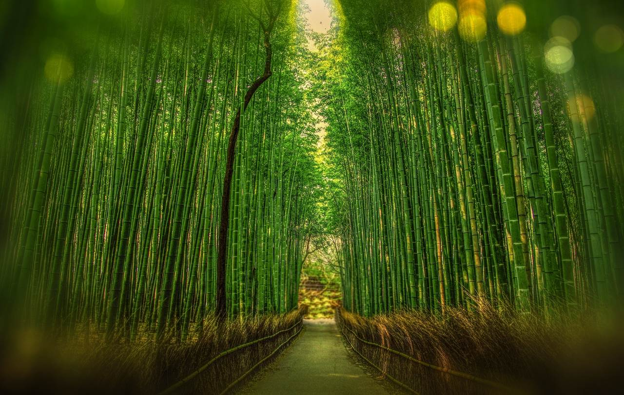 Kyoto famed for its bamboo trees
