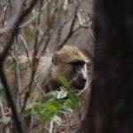 Lake Malawi: monkey