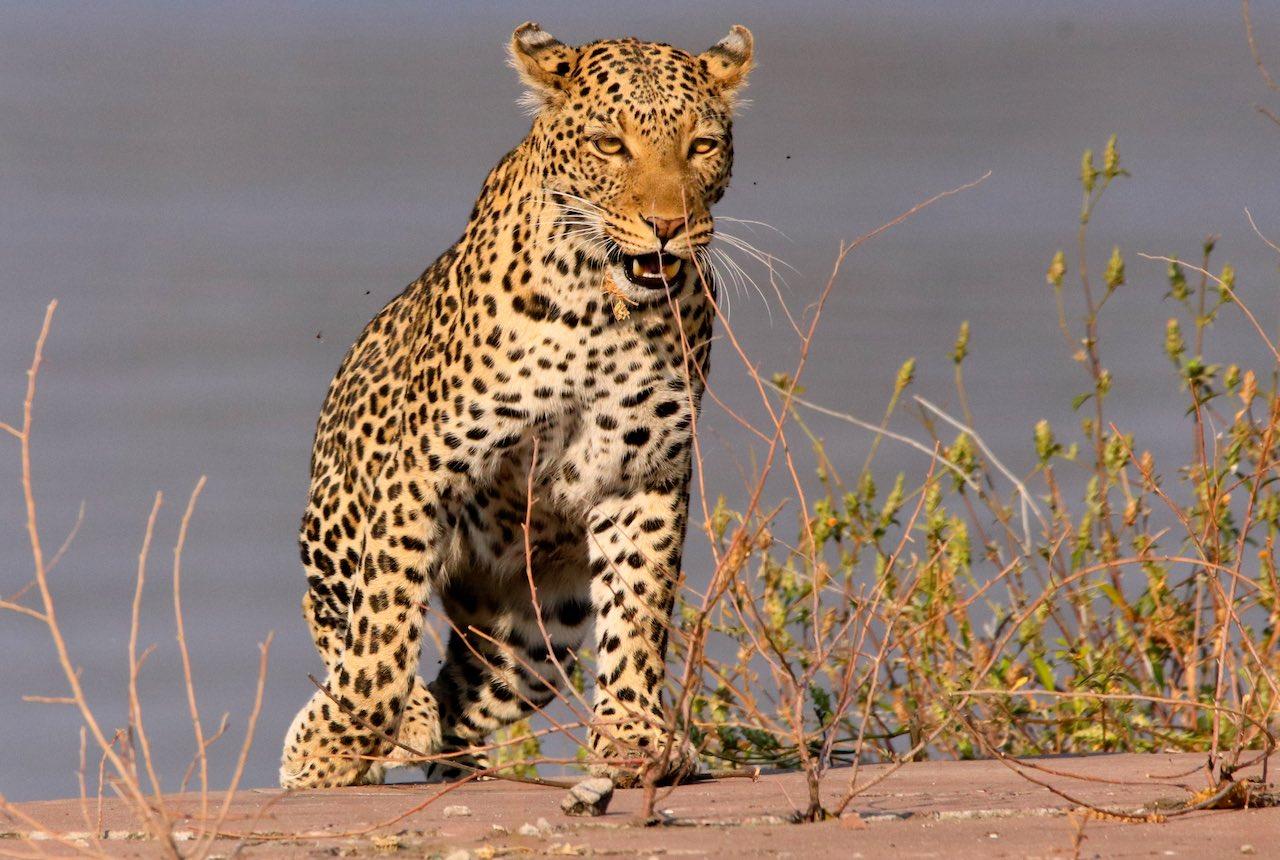 leopard - rupert parker