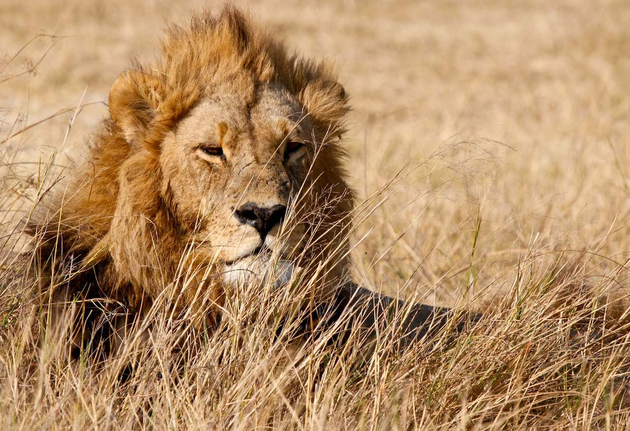 lion in tall grass - rupert parker