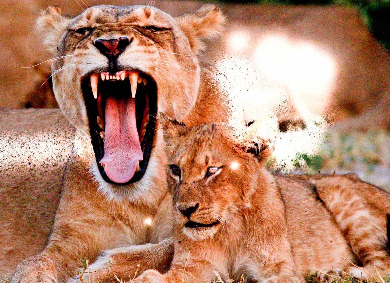 lioness and cub - rupert parker