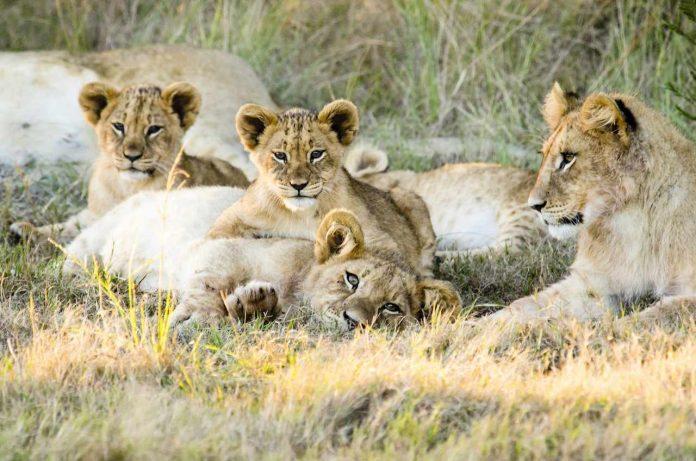 Lions Gondwana