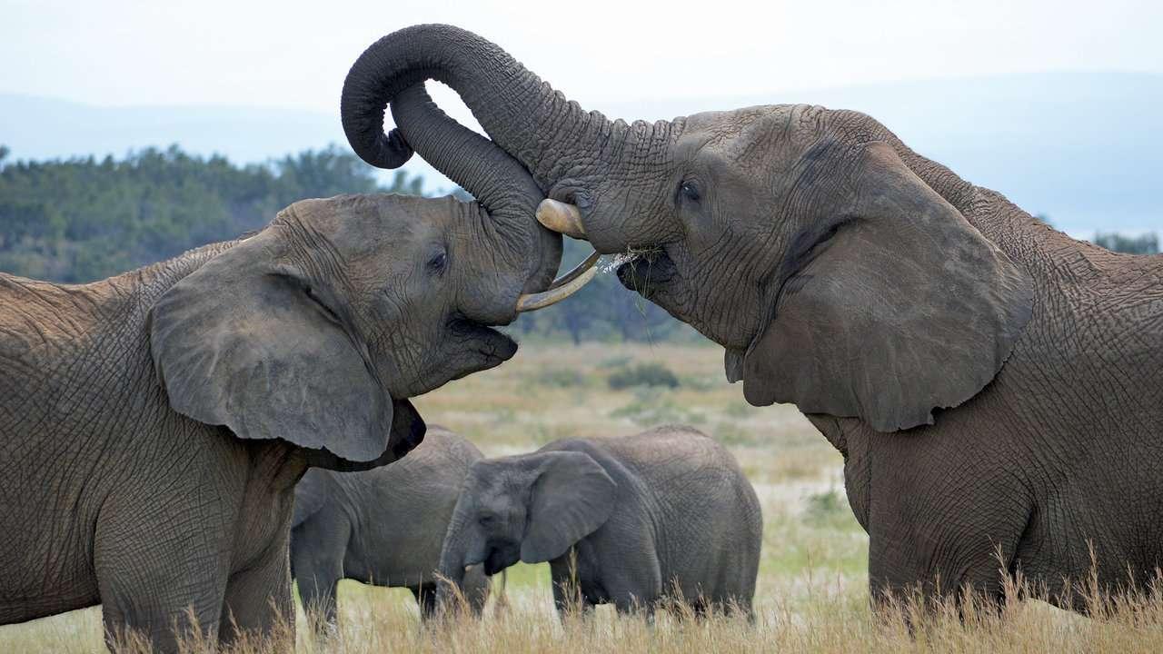 South Africa: Zulu Camp Shambala: elephants