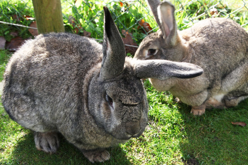 Trenython Manor: giant rabbits