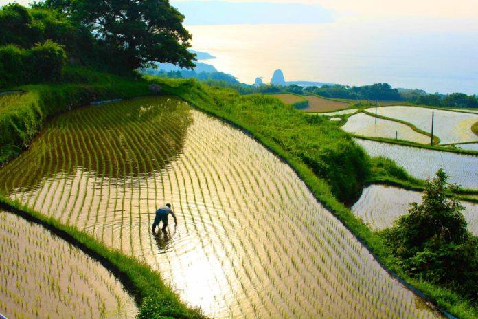 Yamaguchi Farmer in Higashi Ushirobata Rice Terrace