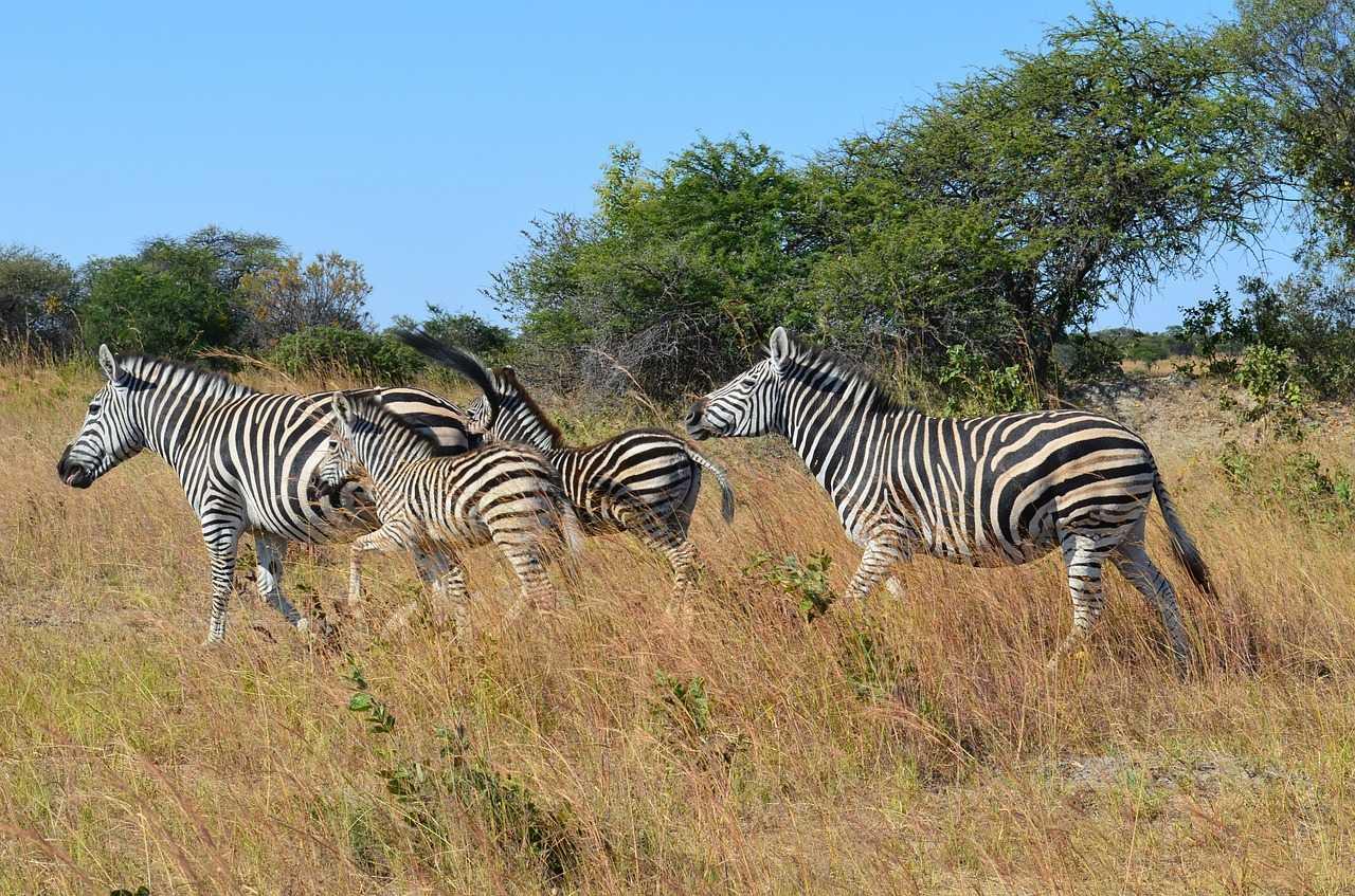Zebras, Matobo National Park, Zimbabwe